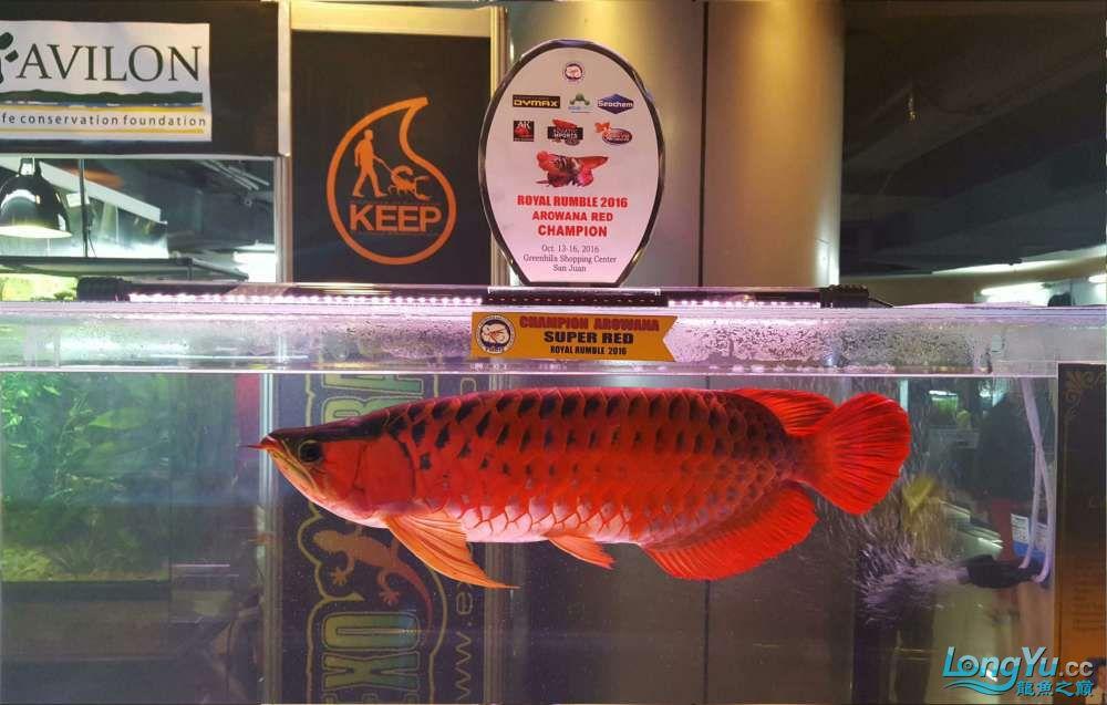 Ikan Grand Champion.jpg