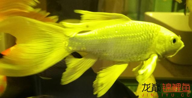 鱼尾鱼鳍处的灰黑点