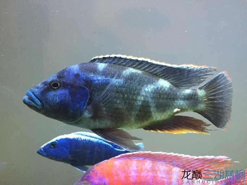 进5条新鱼两周~除兜口被咬外小布隆迪居然还悠然自得 兰州龙鱼论坛 兰州龙鱼第3张