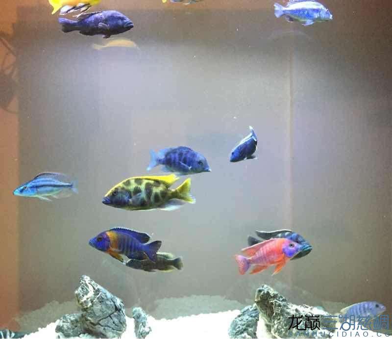 进5条新鱼两周~除兜口被咬外小布隆迪居然还悠然自得 兰州龙鱼论坛 兰州龙鱼第4张