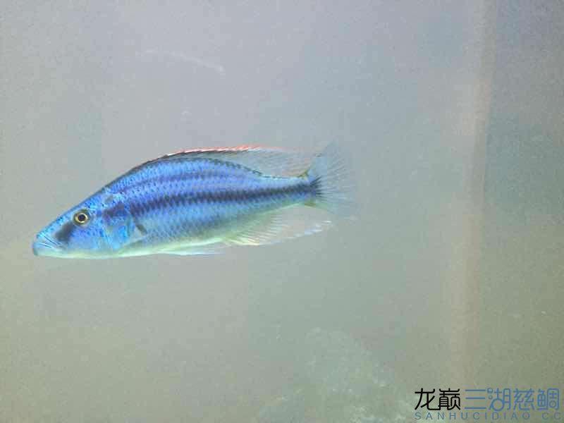 进5条新鱼两周~除兜口被咬外小布隆迪居然还悠然自得 兰州龙鱼论坛 兰州龙鱼第5张
