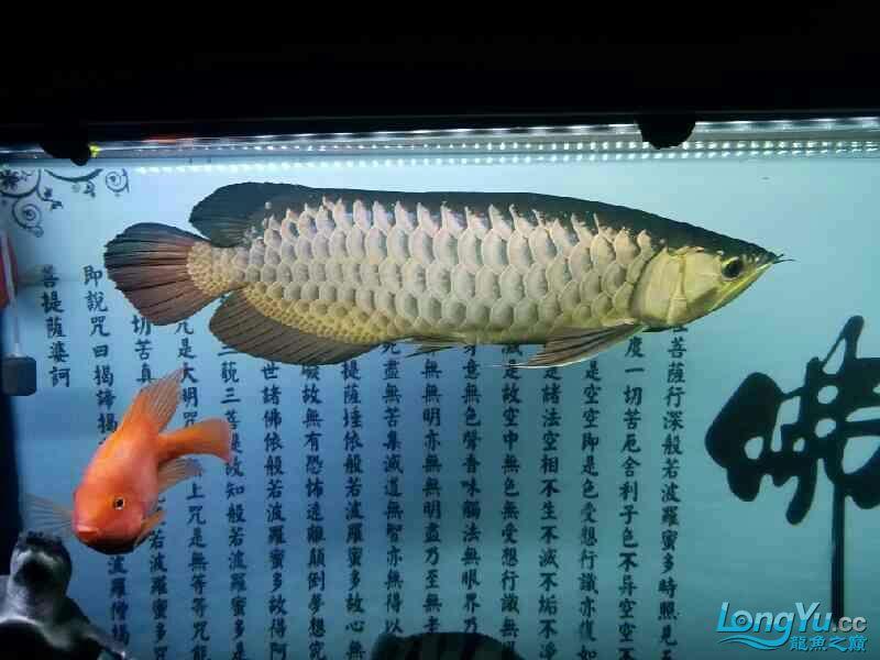 悲催了谁来帮帮我 福州观赏鱼 福州龙鱼第1张