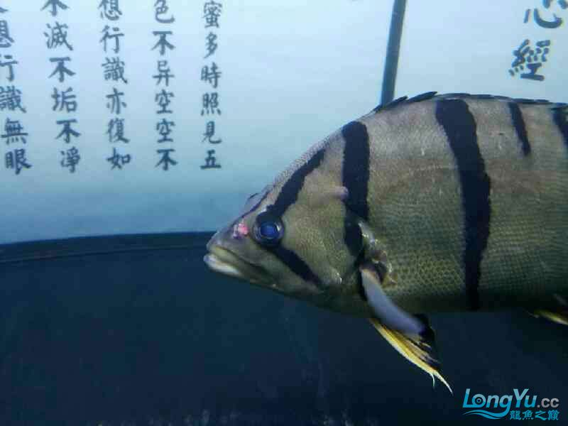 悲催了谁来帮帮我 福州观赏鱼 福州龙鱼第3张