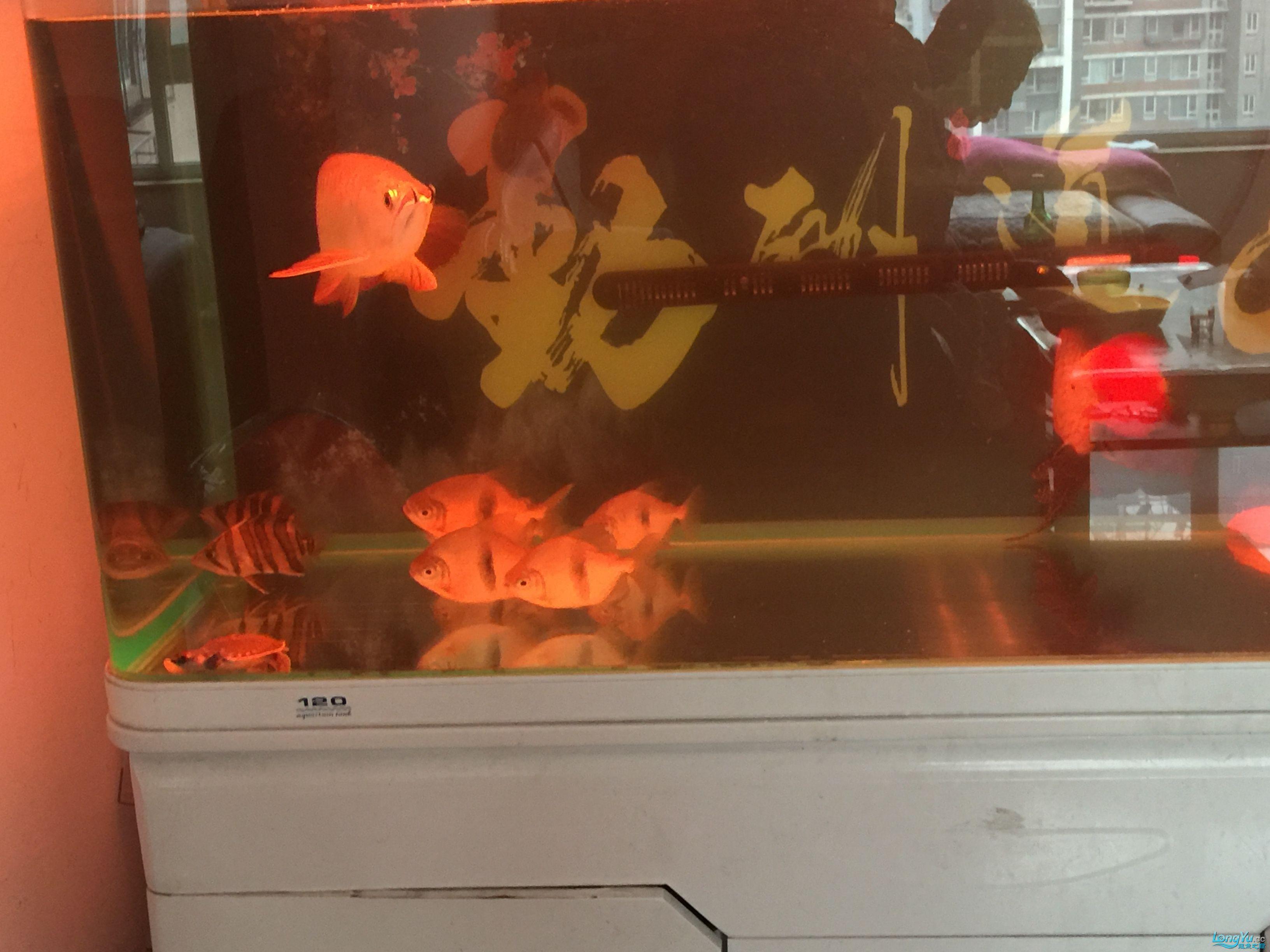 虎鱼打架啦 西安水族批发市场 西安龙鱼第4张