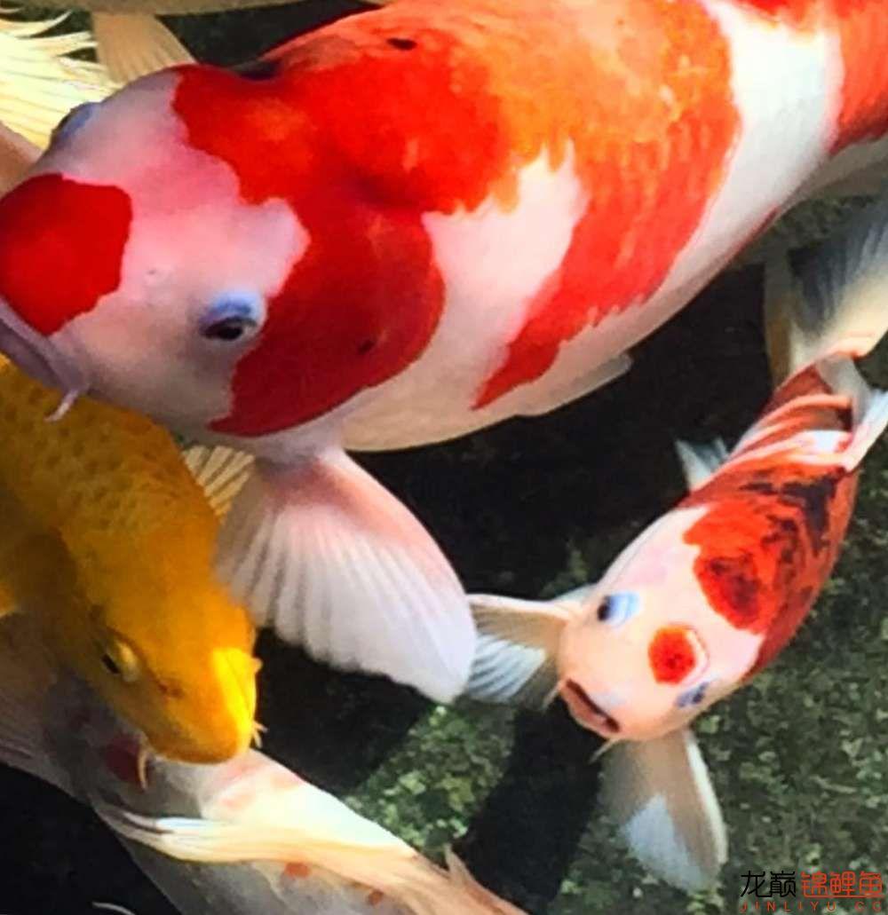 欣赏漂亮的小水池 元宝凤凰鱼相关 元宝凤凰鱼第11张