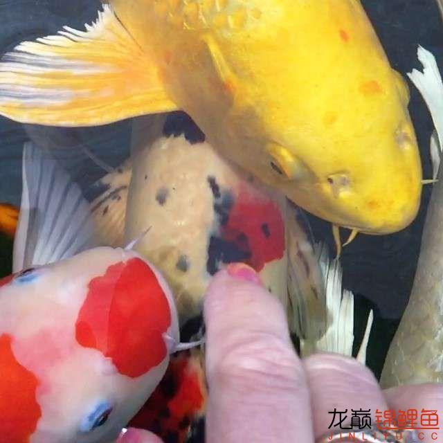 欣赏漂亮的小水池 元宝凤凰鱼相关 元宝凤凰鱼第2张