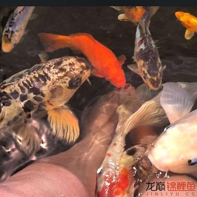 欣赏漂亮的小水池 元宝凤凰鱼相关 元宝凤凰鱼第4张