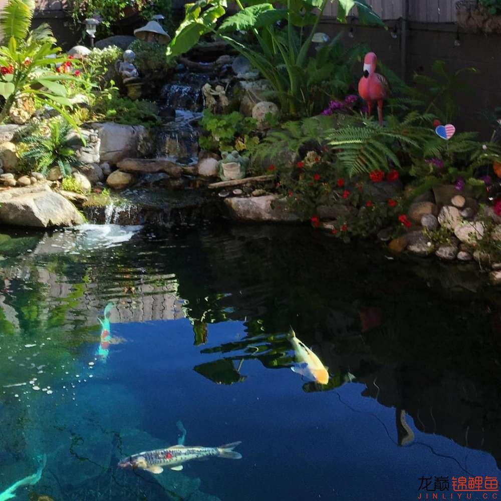 欣赏漂亮的小水池 元宝凤凰鱼相关 元宝凤凰鱼第5张