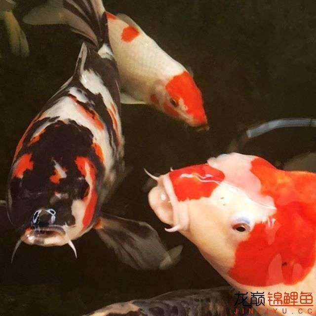 欣赏漂亮的小水池 元宝凤凰鱼相关 元宝凤凰鱼第6张
