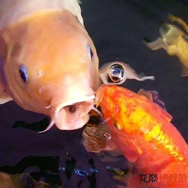 欣赏漂亮的小水池 元宝凤凰鱼相关 元宝凤凰鱼第8张