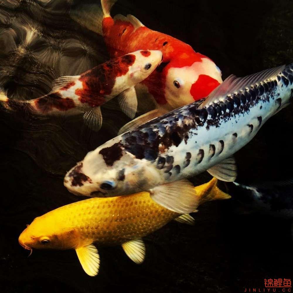 欣赏漂亮的小水池 元宝凤凰鱼相关 元宝凤凰鱼第9张