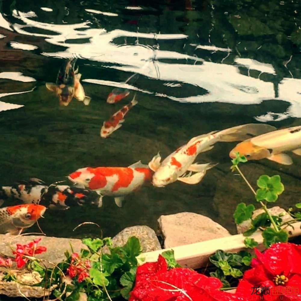欣赏漂亮的小水池 元宝凤凰鱼相关 元宝凤凰鱼第10张