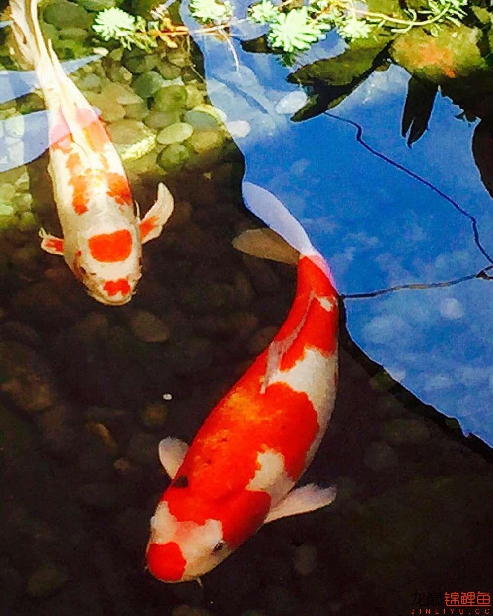 欣赏漂亮的小水池 元宝凤凰鱼相关 元宝凤凰鱼第12张