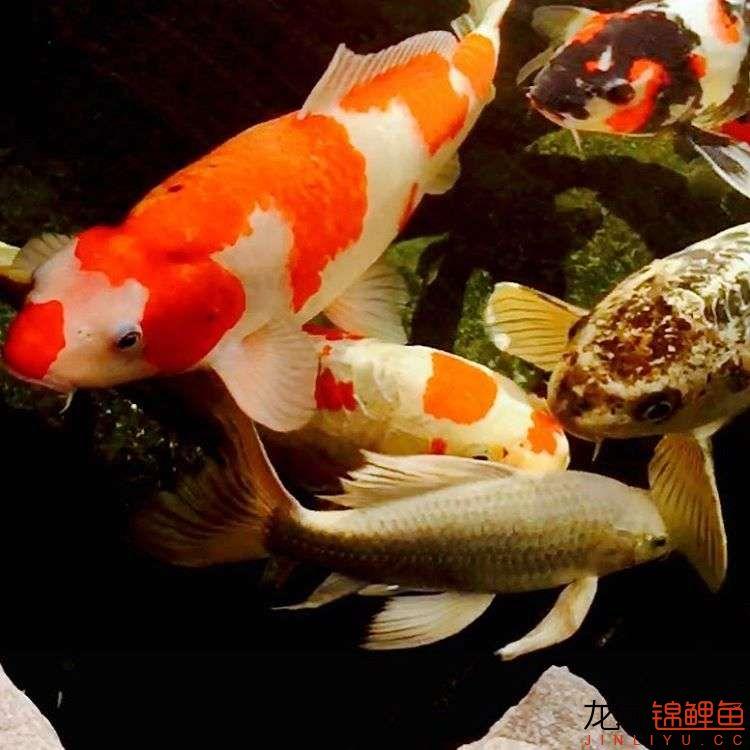 欣赏漂亮的小水池 元宝凤凰鱼相关 元宝凤凰鱼第13张
