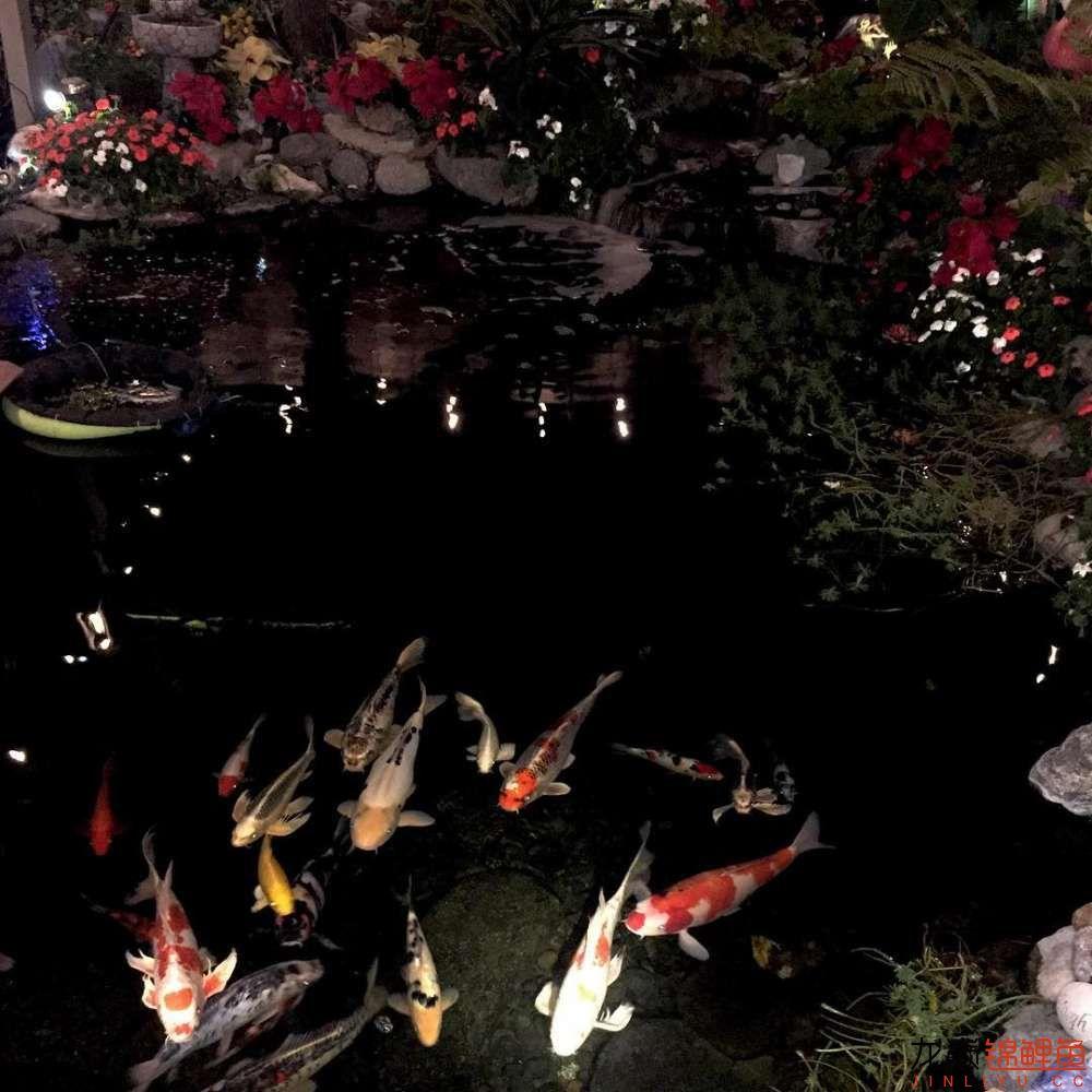 欣赏漂亮的小水池 元宝凤凰鱼相关 元宝凤凰鱼第14张