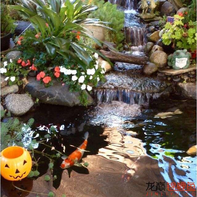欣赏漂亮的小水池 元宝凤凰鱼相关 元宝凤凰鱼第18张