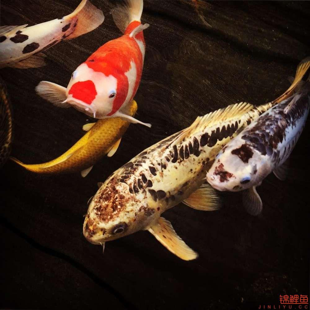 欣赏漂亮的小水池 元宝凤凰鱼相关 元宝凤凰鱼第20张