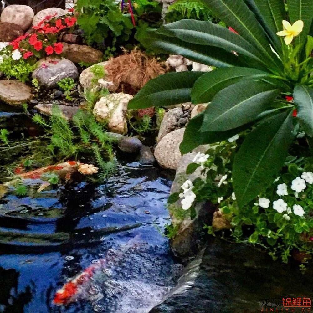 欣赏漂亮的小水池 元宝凤凰鱼相关 元宝凤凰鱼第21张