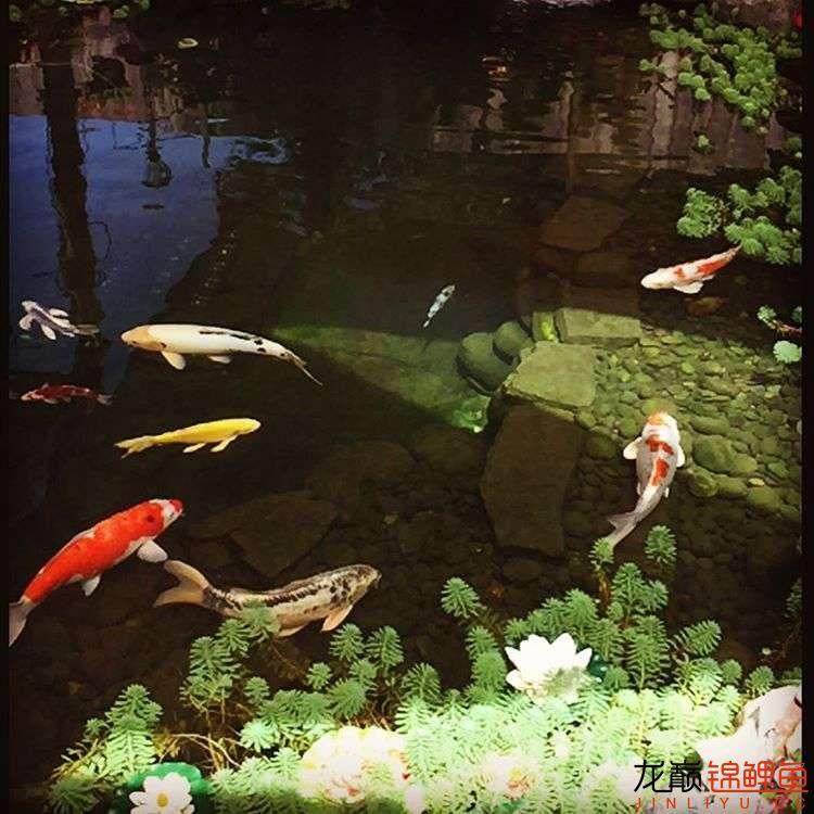 欣赏漂亮的小水池 元宝凤凰鱼相关 元宝凤凰鱼第23张