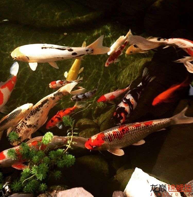 欣赏漂亮的小水池 元宝凤凰鱼相关 元宝凤凰鱼第24张
