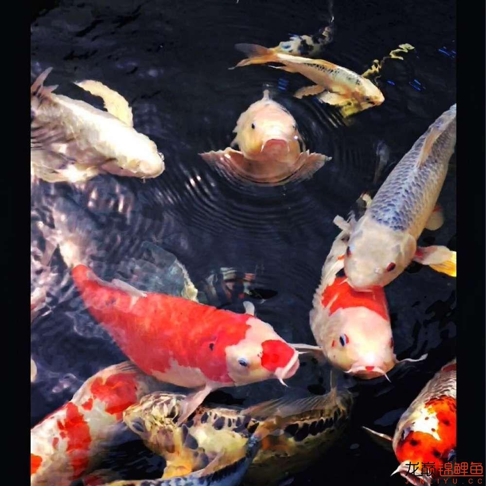 欣赏漂亮的小水池 元宝凤凰鱼相关 元宝凤凰鱼第26张