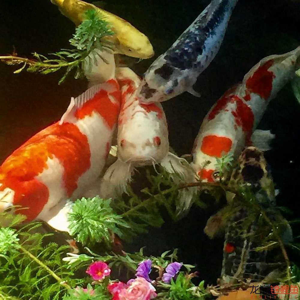 欣赏漂亮的小水池 元宝凤凰鱼相关 元宝凤凰鱼第31张