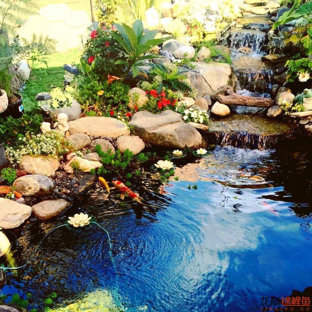 欣赏漂亮的小水池 元宝凤凰鱼相关 元宝凤凰鱼第37张
