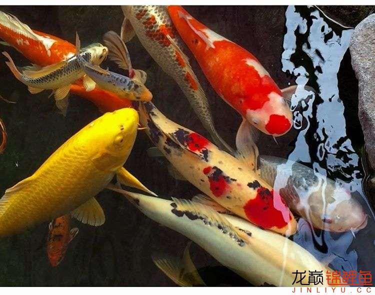欣赏漂亮的小水池 元宝凤凰鱼相关 元宝凤凰鱼第38张