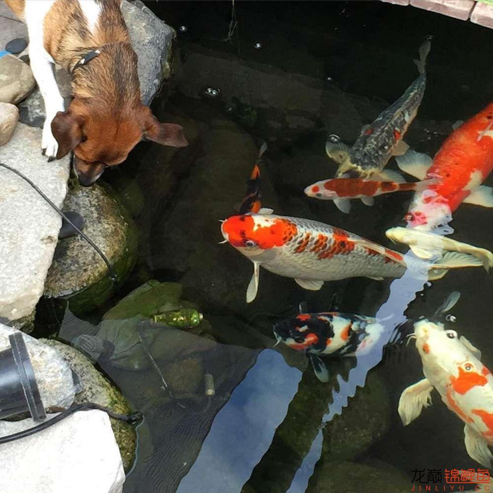 欣赏漂亮的小水池 元宝凤凰鱼相关 元宝凤凰鱼第39张
