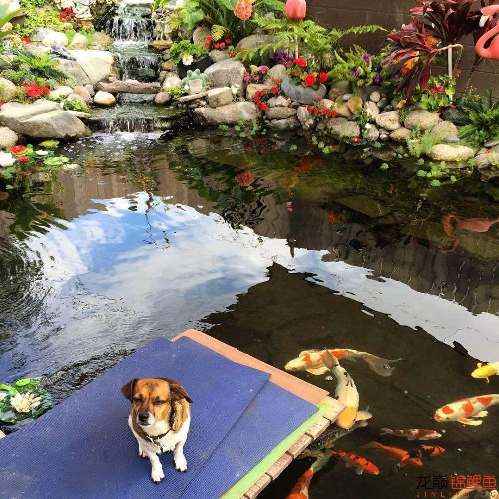 欣赏漂亮的小水池 元宝凤凰鱼相关 元宝凤凰鱼第40张