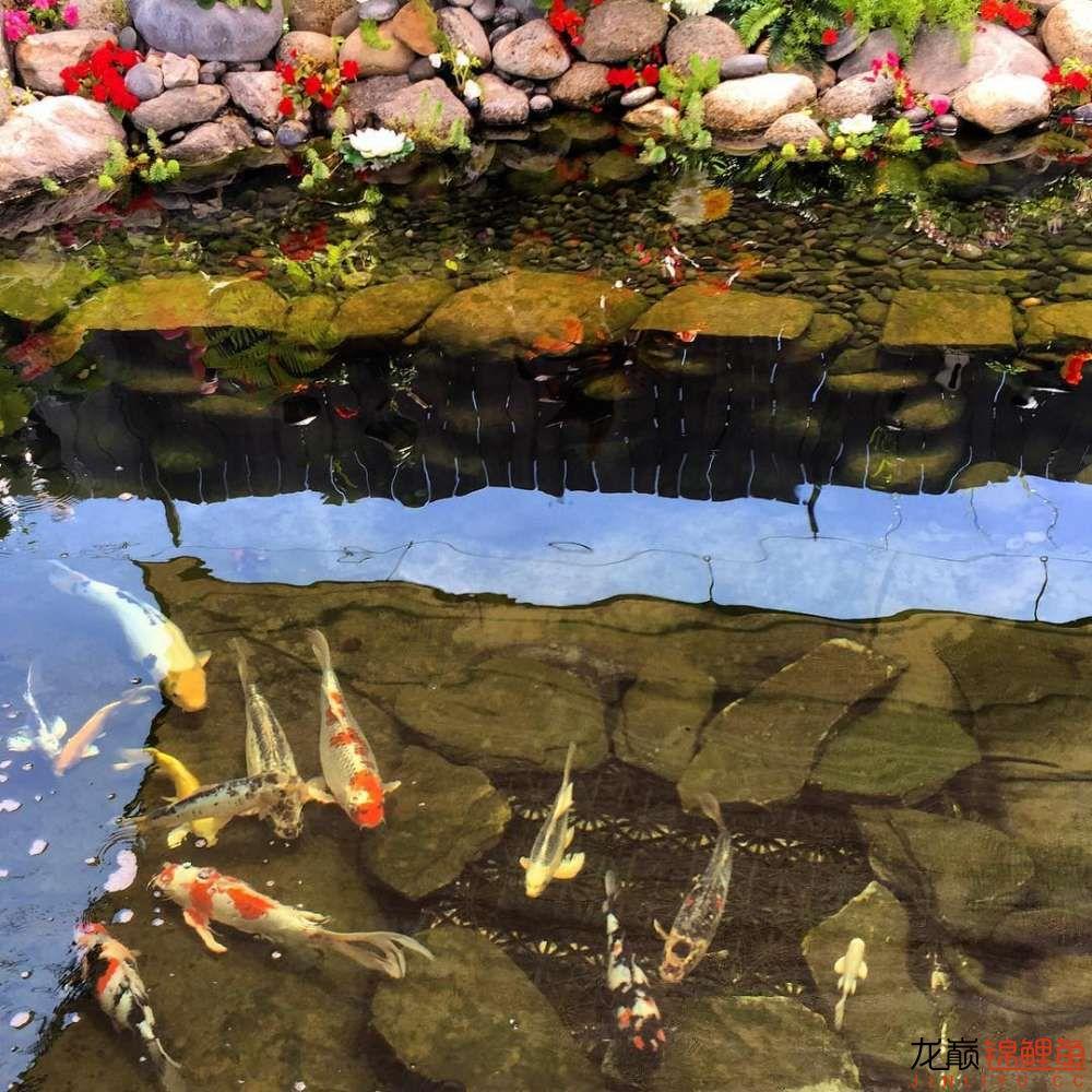 欣赏漂亮的小水池 元宝凤凰鱼相关 元宝凤凰鱼第49张