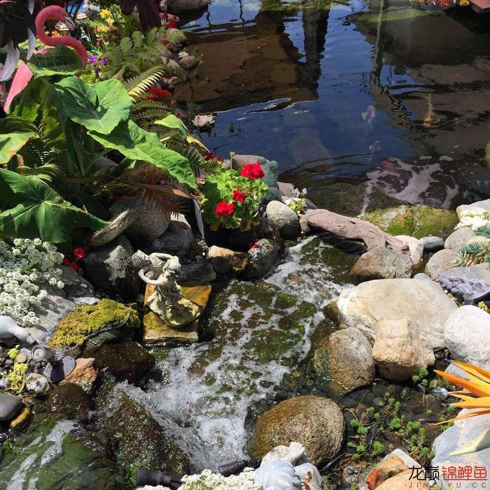 欣赏漂亮的小水池 元宝凤凰鱼相关 元宝凤凰鱼第47张