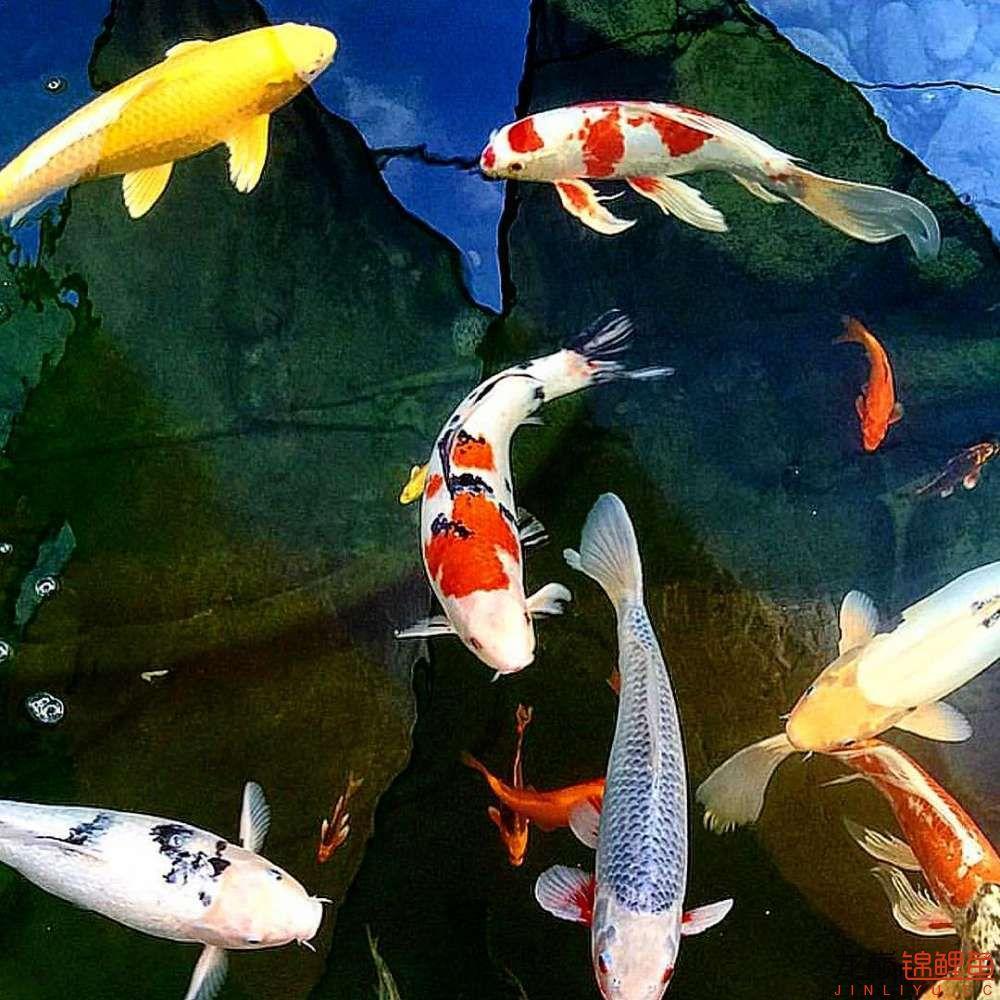 欣赏漂亮的小水池 元宝凤凰鱼相关 元宝凤凰鱼第45张