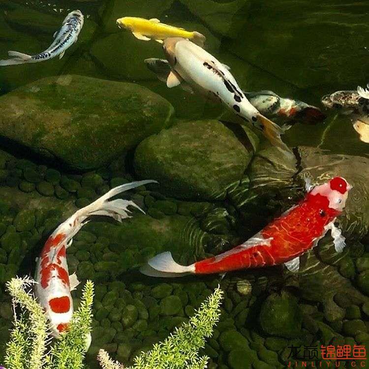 欣赏漂亮的小水池 元宝凤凰鱼相关 元宝凤凰鱼第44张
