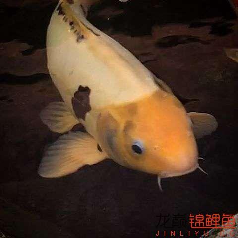 欣赏漂亮的小水池 元宝凤凰鱼相关 元宝凤凰鱼第43张