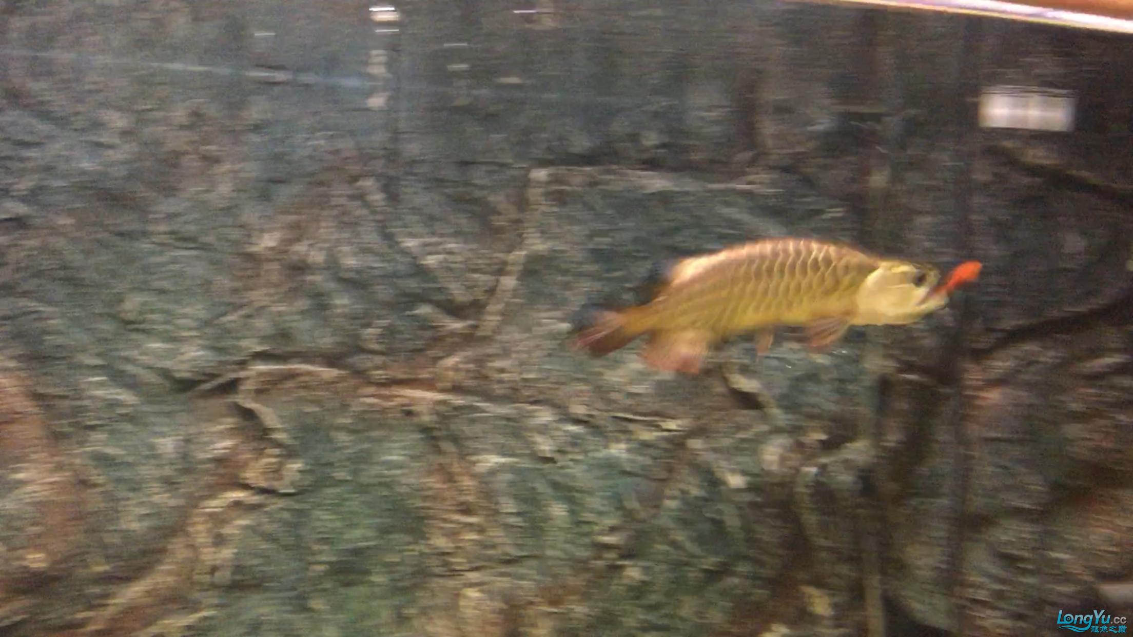 小龙入缸25天:早餐 观赏鱼常见疾病 祥龙鱼场