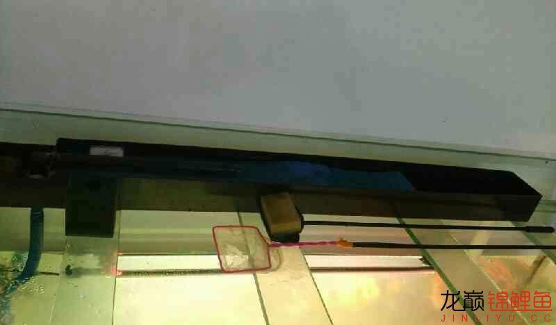 上海大帆鱼价格养鲤大揭秘我的生化滤棉和小水槽 上海水族批发市场 上海龙鱼第3张
