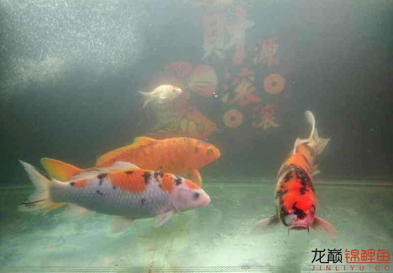 上海大帆鱼价格养鲤大揭秘我的生化滤棉和小水槽 上海水族批发市场 上海龙鱼第4张