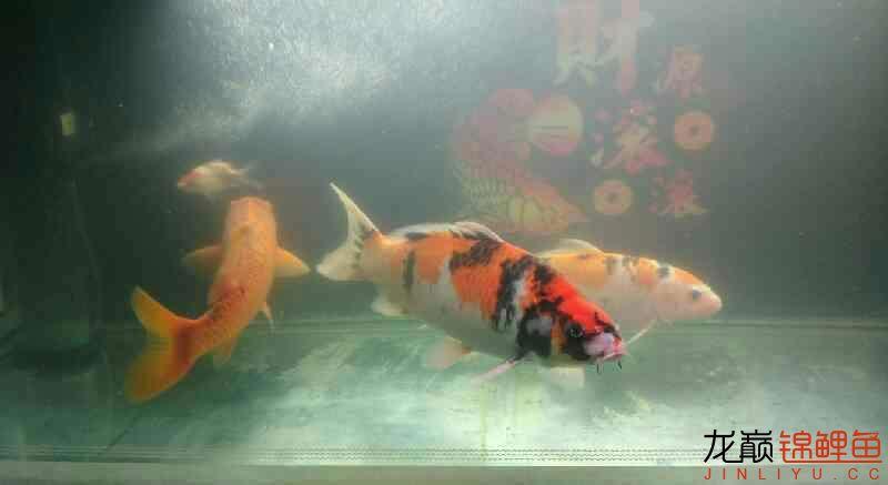 上海大帆鱼价格养鲤大揭秘我的生化滤棉和小水槽 上海水族批发市场 上海龙鱼第5张