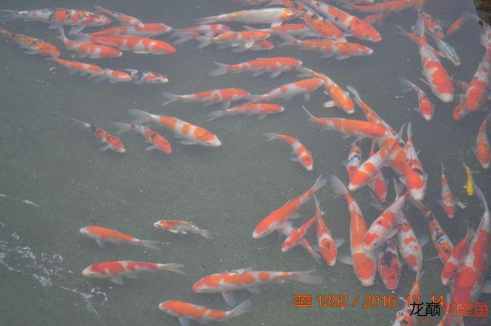 渔场回忆24 长春观赏鱼 长春龙鱼第14张
