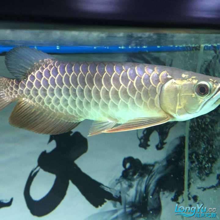 龙鱼三个月个时间变化大家帮忙看下 杭州水族批发市场 杭州龙鱼第3张