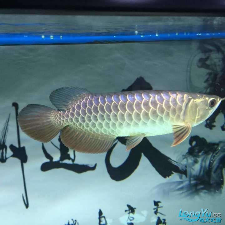 龙鱼三个月个时间变化大家帮忙看下 杭州水族批发市场 杭州龙鱼第4张