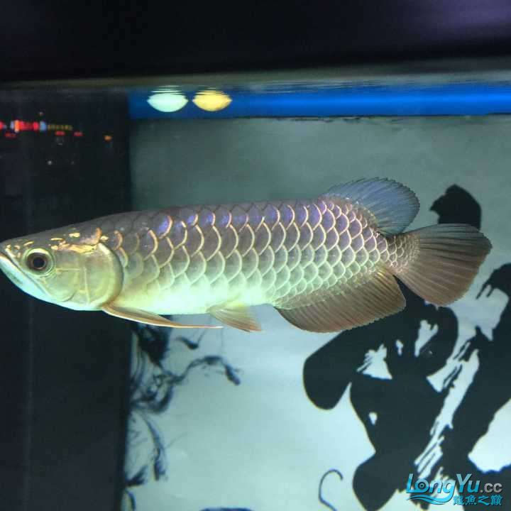 龙鱼三个月个时间变化大家帮忙看下 杭州水族批发市场 杭州龙鱼第5张