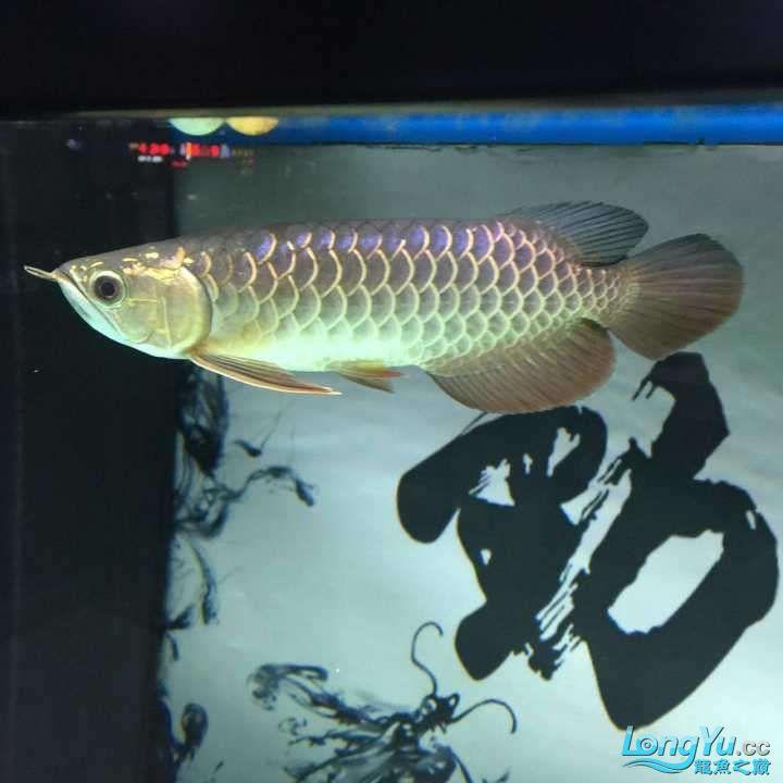 龙鱼三个月个时间变化大家帮忙看下 杭州水族批发市场 杭州龙鱼第6张