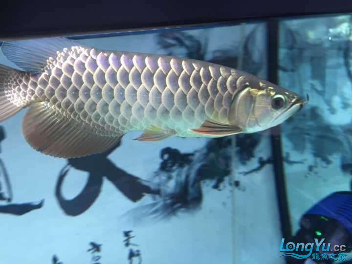 龙鱼三个月个时间变化大家帮忙看下 杭州水族批发市场 杭州龙鱼第8张