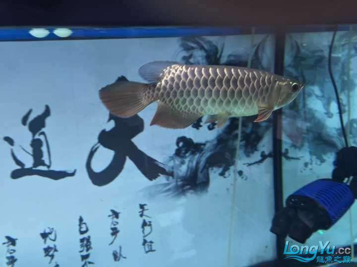 龙鱼三个月个时间变化大家帮忙看下 杭州水族批发市场 杭州龙鱼第9张