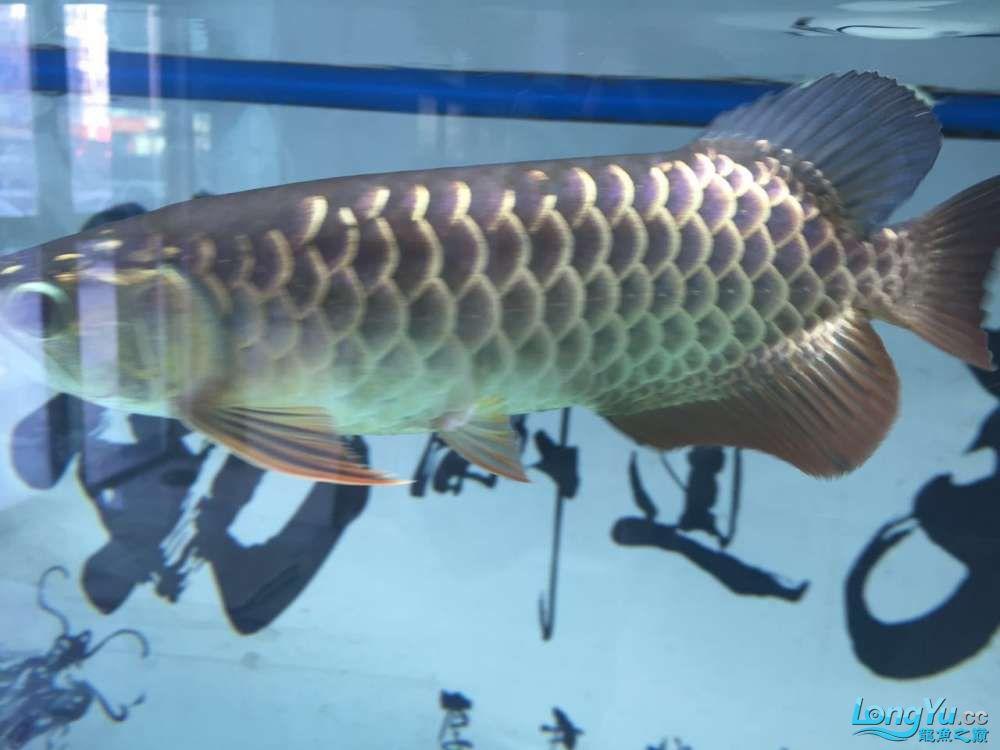 龙鱼三个月个时间变化大家帮忙看下 杭州水族批发市场 杭州龙鱼第10张