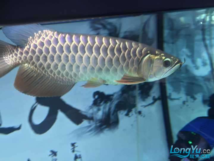 龙鱼三个月个时间变化大家帮忙看下 杭州水族批发市场 杭州龙鱼第14张