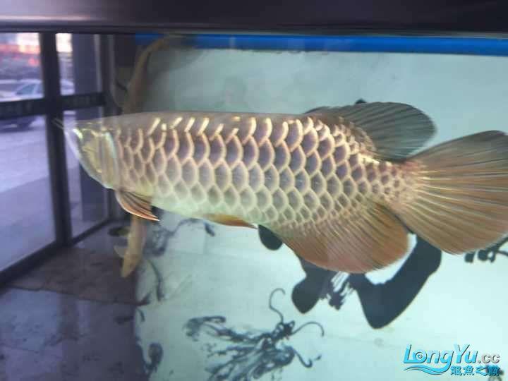 龙鱼三个月个时间变化大家帮忙看下 杭州水族批发市场 杭州龙鱼第15张