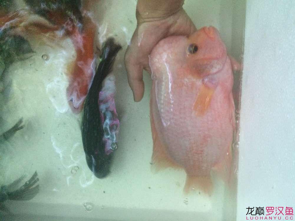 求教 北京观赏鱼 北京龙鱼第5张